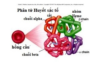 Ảnh 1 của Thiếu máu beta Thalassaemia