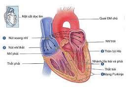 Ảnh 3 của Cơ tim hạn chế