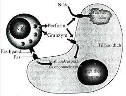 Ảnh 2 của Tế bào mast hệ thống