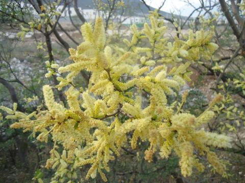 Ảnh của Acacia Rigidula