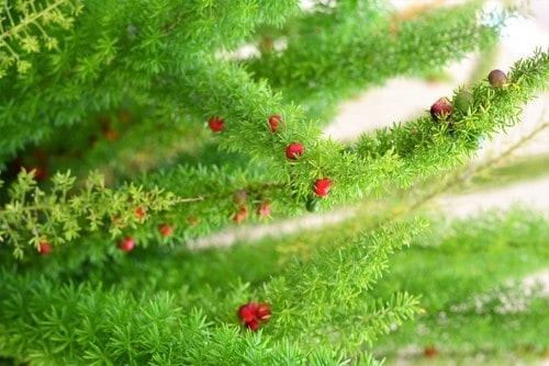 Ảnh của Hạt giống cây tùng