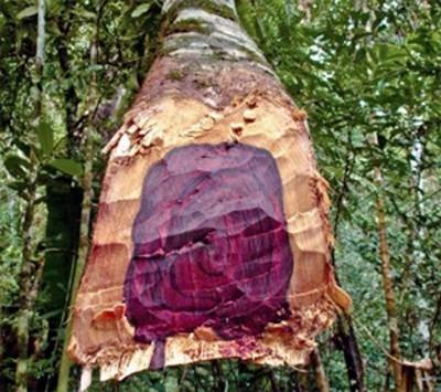 Ảnh của Tinh dầu gỗ hồng