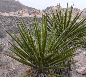 Ảnh của Yucca
