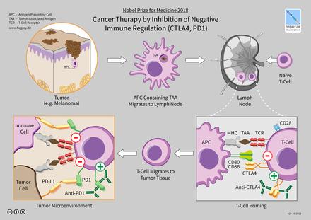 Điều trị ung thư của liệu pháp ức chế chốt kiểm soát miễn dịch - ảnh 4