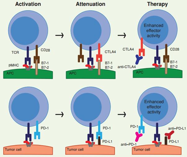 Điều trị ung thư của liệu pháp ức chế chốt kiểm soát miễn dịch - ảnh 5