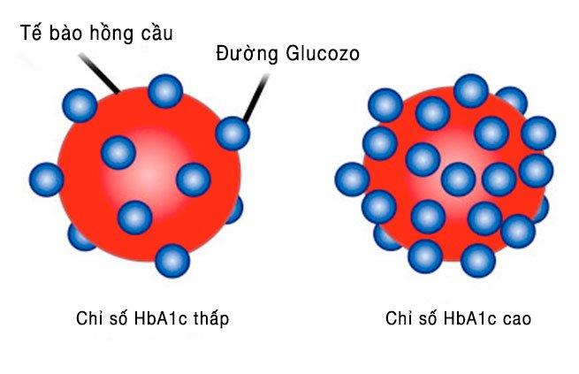 Ý nghĩa xét nghiệm HbA1c trong kiểm soát glucose ở bệnh nhân đái tháo đường - ảnh 2