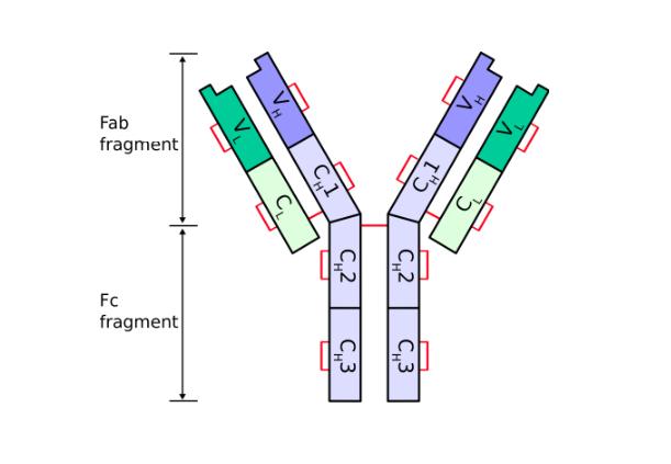 Chức năng của Globulin miễn dịch - ảnh 2