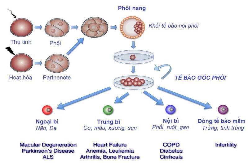 Tế bào gốc là gì và vai trò của tế bào gốc? - ảnh 2
