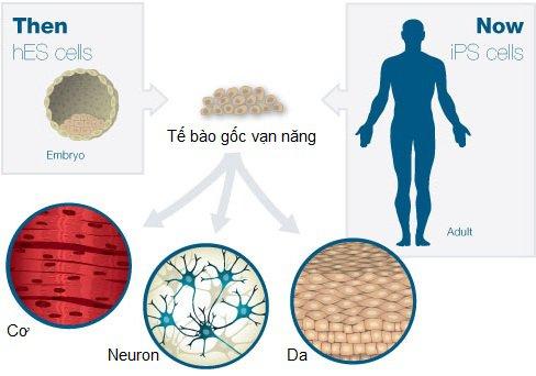 Tế bào gốc là gì và vai trò của tế bào gốc? - ảnh 4
