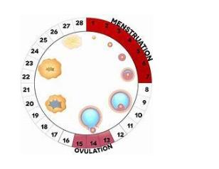 Nhận biết thời điểm thụ thai (Fertility awareness methods) - ảnh 1